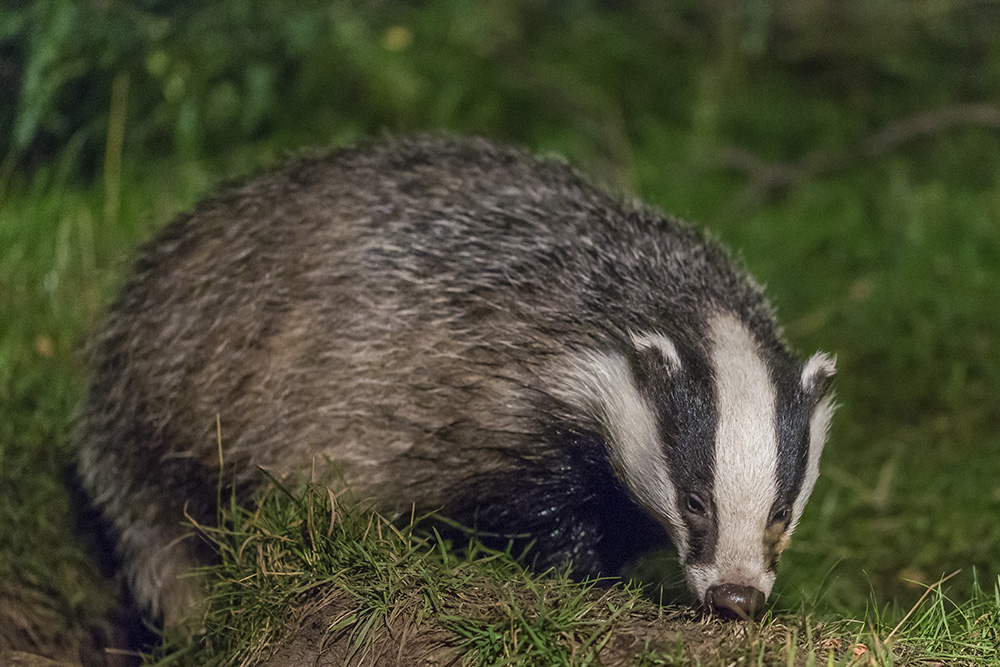A badger looking for food - Scottish wildlife