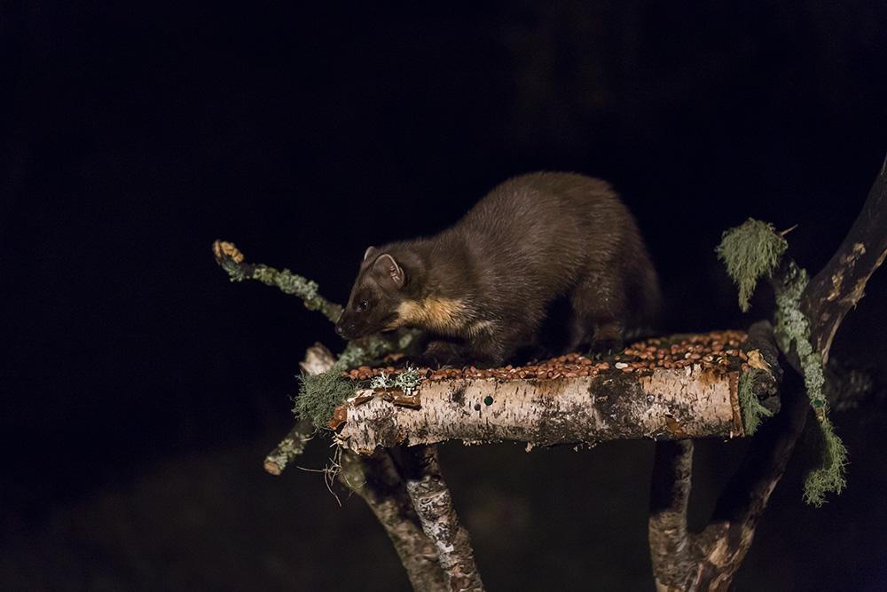 A Pine Marten at a feeding station - Scottish wildlife
