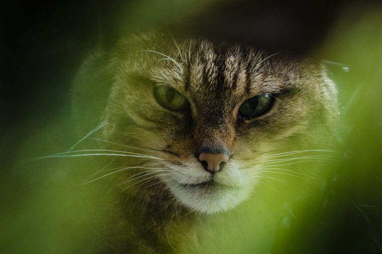 The Tigers Of Scotland is a feature length documentary about Scottish Wildcats